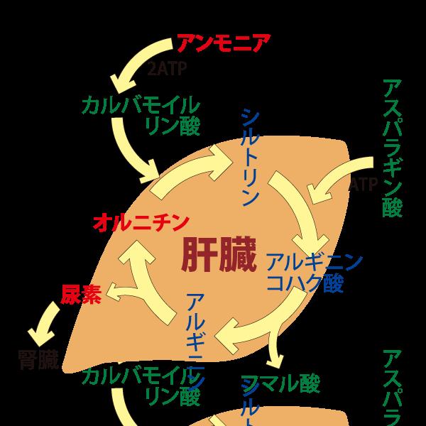 オルニチンサイクルの説明〜健康ライフ